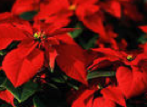A beautiful Poinsettia