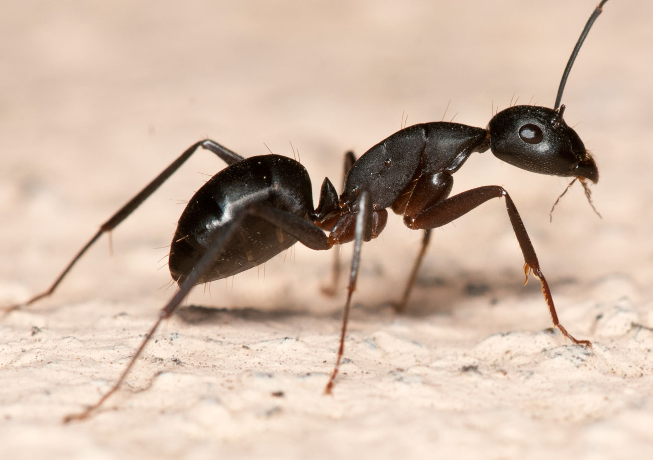 Ant Pest Control From Command Pest