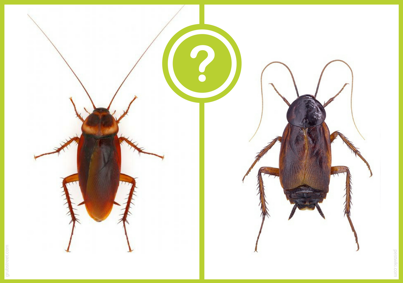 Water Bug vs. Cockroach: Clearing Up the Confusion