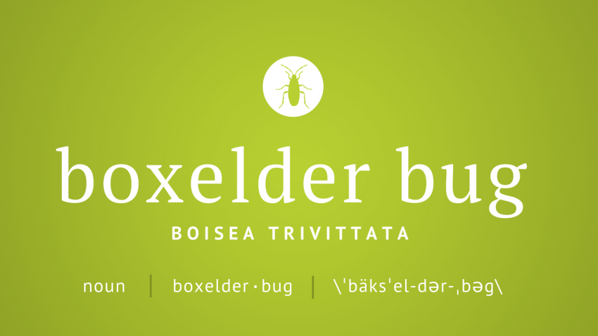 Pest Profile: Boxelder Bug